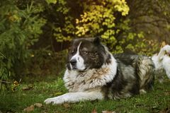 Kaukasische herdershond in de herfsttijd Volwassen Kaukasische Herdershond stock foto's