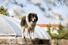 Kaukasische herdershond in de werf Kaukasische herdershond in twijg royalty-vrije stock foto's