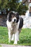 Kaukasische herdershond in de werf Kaukasische herdershond in twijg stock afbeelding