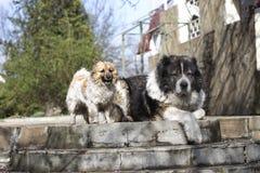 Kaukasische herdershond in de werf Kaukasische herdershond in twijg stock fotografie