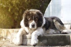 Kaukasische herdershond in twijgtijd Volwassen Kaukasische Herdershond i stock fotografie