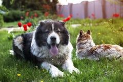 Kaukasische herdershond in twijgtijd Volwassen Kaukasische Herdershond i stock foto