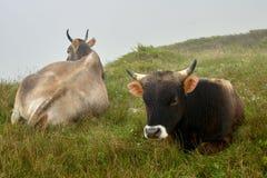 Kaukasische Kühe, RUSSIA/Bezengi stockfotografie
