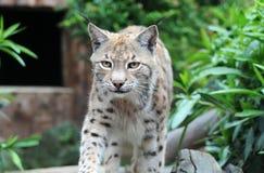 Kaukasische Lynx royalty-vrije stock afbeeldingen