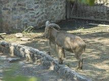 Kaukasische Schafe Stockbilder