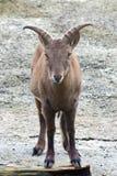 Kaukasische tur van het oosten (Capra-cylindricornis) Royalty-vrije Stock Foto's