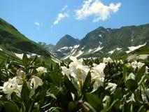 Kaukasischer Hochgebirgsweiße Blumen lizenzfreie stockfotos