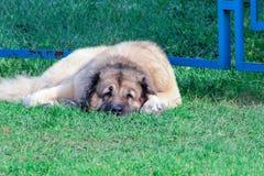Kaukasischer Schäferhund, der auf grünem Gras liegt lizenzfreie stockfotografie