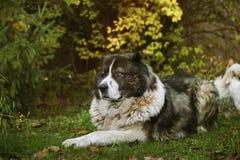 Kaukasischer Schäferhund in der Herbstzeit Erwachsener kaukasischer Schäferhund stockfotos
