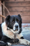 Kaukasischer Schäferhund Lizenzfreie Stockfotografie