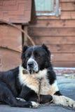 Kaukasischer Schäferhund Stockfotos
