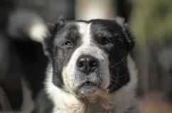 Kaukasischer Schäferhund Lizenzfreies Stockbild
