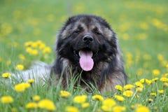 Kaukasischer Schäferhund in den Blumen Lizenzfreies Stockbild
