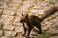 Kaukasisches oder persisches Eichhörnchen (Sciurus anomalus) Lizenzfreies Stockbild