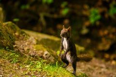 Kaukasisches oder persisches Eichhörnchen (Sciurus anomalus) sitzend im Laub auf seinen Hinterbeinen stockfotos