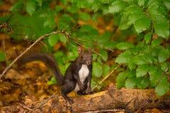 Kaukasisches oder persisches Eichhörnchen (Sciurus anomalus) stehend auf seinen Hinterbeinen auf einem starken grünen Baumast Stockfotos