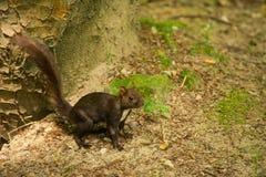 Kaukasisches oder persisches Eichhörnchen (Sciurus anomalus) steht aus den Grund nahe einem Baum Lizenzfreies Stockbild