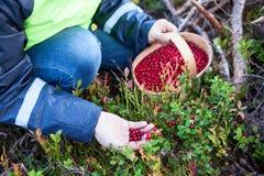 Kaukaska kobieta zbiera czerwonej borówki w lesie, zakończenie widoku ręka i kosza jagody, pełno Obraz Royalty Free