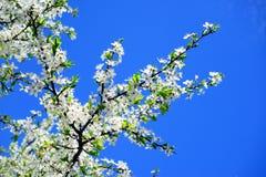 Kaukaski śliwkowy biały okwitnięcie i niebieskie niebo Zdjęcia Stock