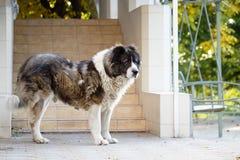 Kaukaski sheepdog w jesień czasie Dorosły Kaukaski Pasterski pies obraz royalty free