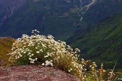 Kaukasus-Berglandschaft und Busch von camomiles Stockfotografie