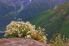 Kaukasus-Berglandschaft und Busch von camomiles Stockbilder