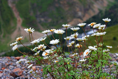 Kaukasus-Berglandschaft und Busch von camomiles Lizenzfreies Stockbild