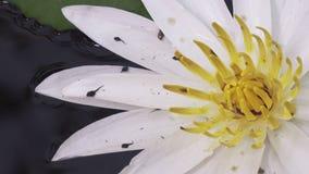 Kaulquappe die Larve einer schwanzlosen Amphibie und eine Blume von weißem Lotus haben in einem Reservoir aufgedeckt stock video footage
