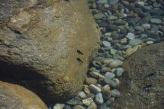 Kaulquappen im Wasser stockfoto