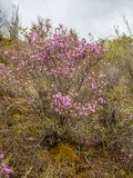 Kaum blühende Blumen von wilder Rosmarin maralnik im lokalen Dialekt in Altai, Russland stockfotografie