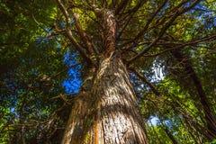 Kauri-Bäume bei Piha Auckland Neuseeland Lizenzfreies Stockfoto