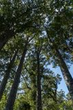Kauri-Baum Grove Lizenzfreies Stockfoto