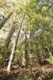 Kauri-Baum Grove Stockbilder