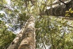 Kauri-Baum Grove Lizenzfreie Stockfotografie