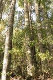 Kauri-Baum Grove Lizenzfreie Stockfotos