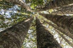 Kauri-Baum Grove Stockfotos
