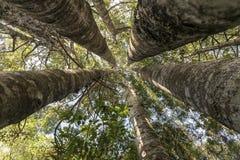 Kauri-Baum Grove Stockbild