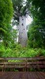 Kauri drzewo w Nowa Zelandia Zadziwiający ogromny drzewo Zdjęcie Stock