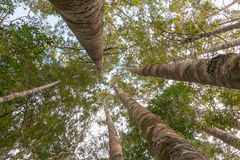 Kauri forest canopy Royalty Free Stock Photography