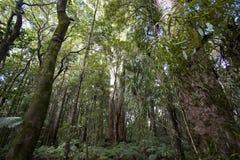 Kauri Forrest Fotografia Stock