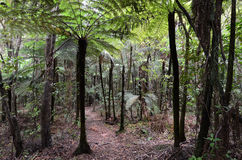 Kauri Puketi Forest, NZ Stock Photos