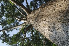 Kauri tree, Agathis australis Stock Images