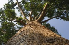 Kauri tree, Agathis australis Stock Photo