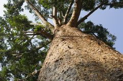 Kauri tree, Agathis australis Royalty Free Stock Photo
