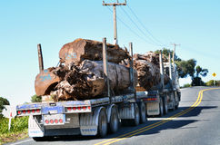 Kauri tree Royalty Free Stock Photo