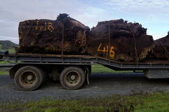 Kauri Tree Royalty Free Stock Images