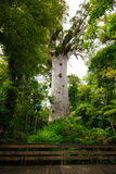 Kauri Tree Royalty Free Stock Image
