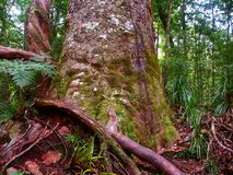 Kauri Tree Waipoua Forest Royalty Free Stock Images