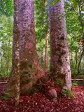 Kauri Tree Waipoua Forest Stock Photo