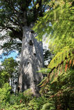 Kauri tree 2000 years old. Tane Mahuta in the Waipoua Kauri Forest. It is the named after Tāne Mahuta, the Māori god of the forest. The tree is 50 metres high stock image